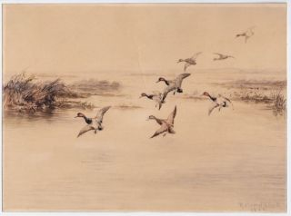 Eight redheads descending into a lakeside marsh, a watercolor picturing the ducks with wings...